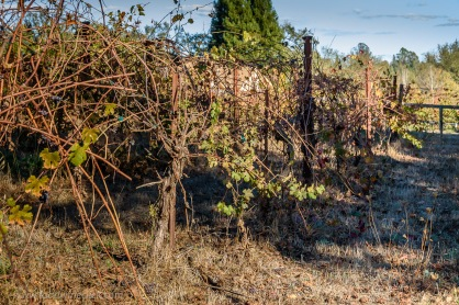 Castelli Vineyards Nebbiolo vines in Sonoma, tended by the precepts of Masanuba Fukuoka