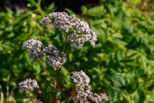 Valerian flowers for biodynamic preparations
