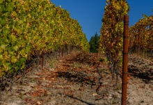 Pivot vineyard at Littorai Wines
