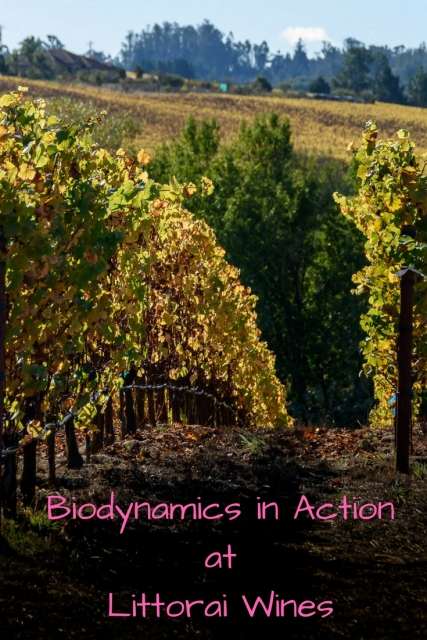 Take a biodynamic vineyard tour at Littorai Wines at www.foodwineclick.com