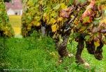 Old Pinot Noir vines in Morey-Saint-Denis in Burgundy
