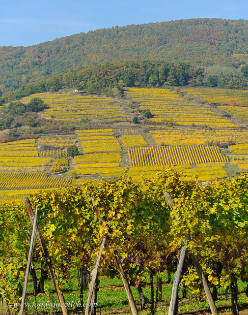 Alsace vineyard in the fall