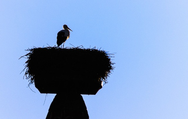 Alsace stork at its roost