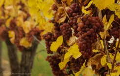 Waiting for the botrytis to arrive