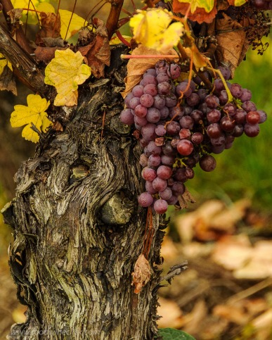 Some seriously ancient vines with grapes for Vendange Tardive (late harvest) or SGN