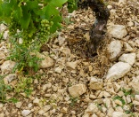 The soil inside the Clos Béru