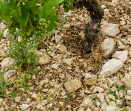 The soil inside the Clos Béru