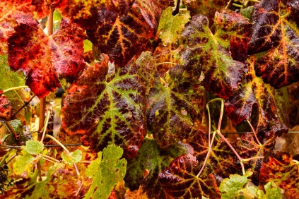 After harvest, the leaves rapidy turn color. The vines know their work is done for the season