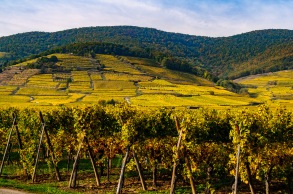 We visited Alsace in the fall, between the normal harvest and the late harvest activity