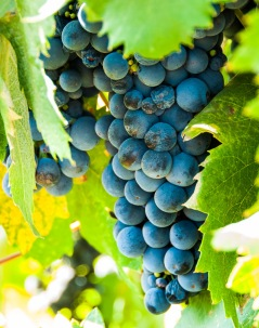 Nearly ripe Zinfandel grapes in the Lizzy James vineyard