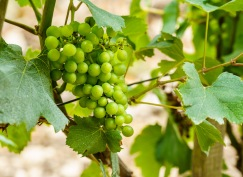 Healthy chardonnay grapes in July