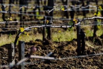 St. Emilion in April, just after bud-break