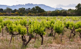 The mediterranean climate of the southern Rhone means little rain during the growing season, a benefit for organic and biodynamic viticulture
