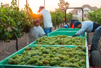 Crews pick grapes with incredible speed and care.
