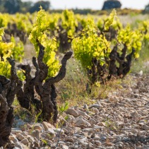 Chateauneuf du Pape is famous for its' galets (rounded river rock) soils, but they are common all through the area.