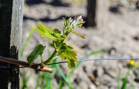 We visited in early April and the vines were just starting to bud and leaf out