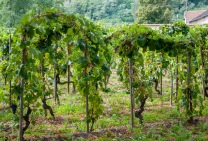 Over in Saint Joseph, they will often allow the vines to grow over to the next post. This allows more leaves to aid ripening of the grapes