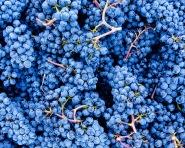 Future Pelos - Sandberg Vineyard Pinot Noir