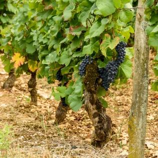 Pinot Noir in Bourgogne