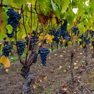 Pinot Noir in Oregon